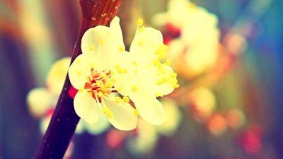 Malatya kayısısı çiçek açtı