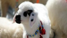Malatya'da en iyi kuzu yarışması