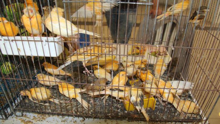 Kanarya Kafes Kuşları Yarışması Malatya'da Yapıldı.