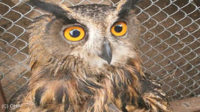 Puhu' kuşu tedavi altına alındı