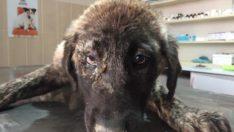 Hasta Köpek, Adıyaman Belediyesi Tarafından Tedavi Edildi