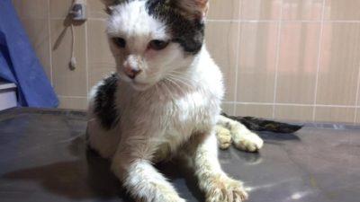 Vücudunu Tümör Kaplayan Kedi Sağlığına Kavuşturuldu