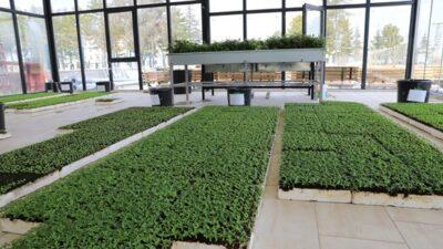 Battalgazi Belediyesi Cam Seralarda Süs Çiçekleri Yetiştiriyor
