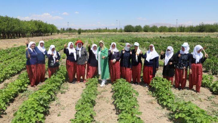Battalgazi'nin Gönüllü Kadınları, İlk Hasatlarını Topladı